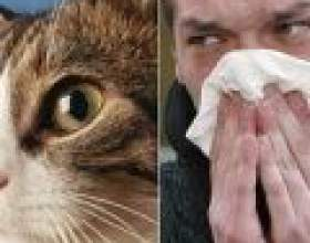 Алергія на котячу шерсть. Симптоми і лікування фото