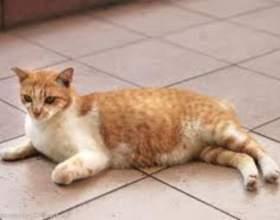 Вагітність кішки - приємна подія фото