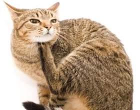 Блохи у кішок: ознаки, боротьба з паразитами фото