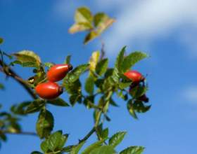 Чим корисний шипшина для організму? Корисні властивості плодів шипшини фото