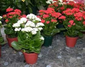 Чудова квітка каланхое: догляд в домашніх умовах фото