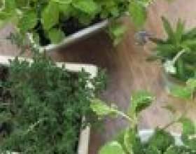 Аптека в будинку: цілющі властивості кімнатних рослин фото