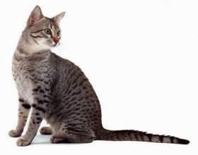 Єгипетські кішки - одна з найдавніших котячих порід фото