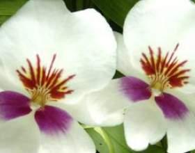Фаленопсис (орхідея) фото