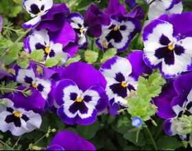 Фіалка - вирощування, догляд, пересадка і розмноження фото