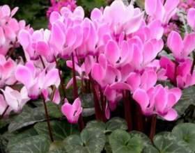 Квітучий цикломен: особливості догляду фото