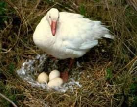 Гусячі яйця. Цінна їжа фото