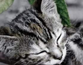 Орієнтальна кішка в будинку: маленька богиня фото
