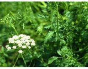 Ефірна олія анісу і сфери його застосування фото