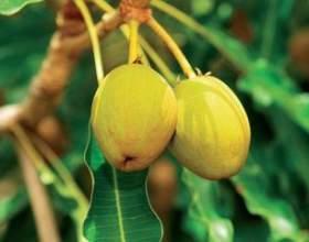 Ефірна олія дерева ши: використання, корисні і лікувальні властивості фото
