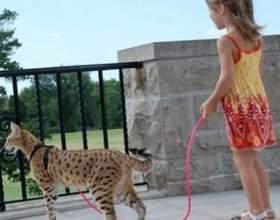 Екзотична і модна порода кішок ашера фото