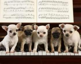 Як грати на піаніно собачий вальс? Простіше простого! фото