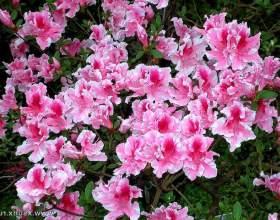 Як доглядати за квіткою азалія фото