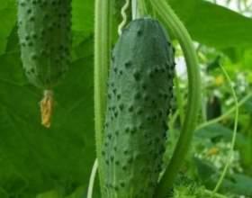 Як виростити огірки у відкритому грунті на дачній ділянці? фото