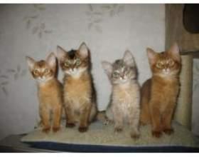 Яка порода кошенят сама ласкава? фото