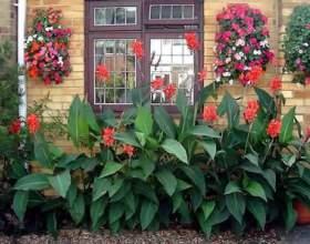 Канна: квітка, який прикрасить будь-який сад фото