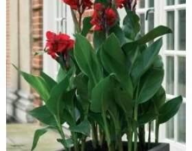 Канна - кімнатна рослина фото