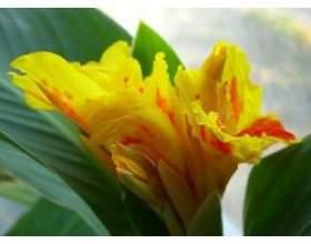 Канни - квіти: агротехніка, зимівля фото