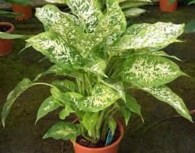 Кімнатна рослина диффенбахія: догляд в домашніх умовах фото
