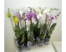 Кімнатна рослина фаленопсис, догляд фото