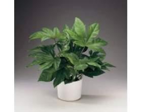 Кімнатна рослина фатсия фото