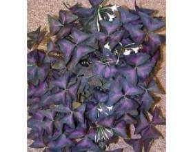 Кімнатна рослина кислиця фото