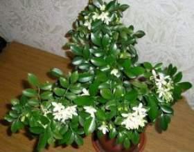 Кімнатна рослина мурайя фото
