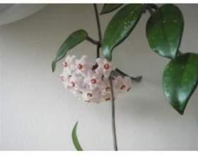 Кімнатна рослина воскової плющ фото