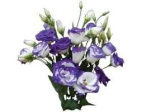 Кімнатні квіти: лізіантус фото