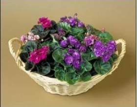 Кімнатні рослина: сенполія, догляд фото