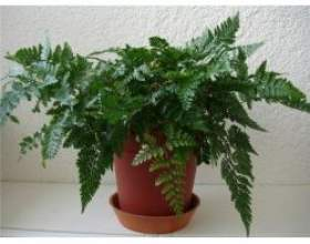Кімнатні рослини даваллія (заяча лапка) фото