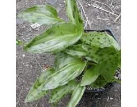 Кімнатні рослини: дріміопсіс фото