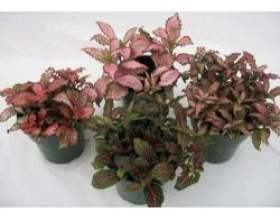 Кімнатні рослини: фіттонія фото