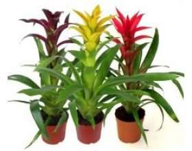 Кімнатні рослини: гусманія фото