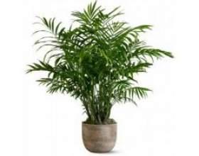 Кімнатні рослини хрізалідокарпус фото