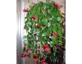 Кімнатні рослини: есхінантус фото