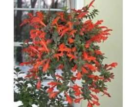 Кімнатні рослини колумнея фото