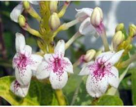 Кімнатні рослини: псевдоерантемум виїмчастий фото