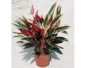 Кімнатні рослини: строманта фото
