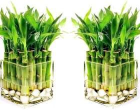 Кімнатний бамбук - рослина удачі фото
