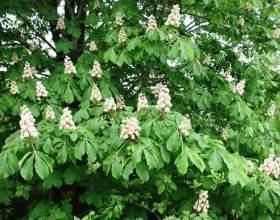 Кінський каштан: застосування в медицині квітів і плодів фото