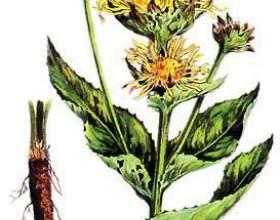 Корінь трави оман: застосування при виразці дванадцятипалої кишки, затримці місячних і безплідді фото