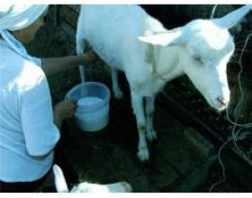 Козяче молоко в дитячому харчуванні фото