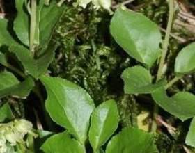 Лікувальна трава борова матка - застосування, опис, позитивні властивості фото