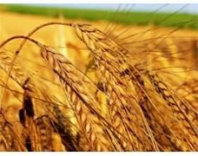 Лікувальні властивості пшениці фото