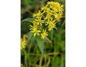 Лікарська рослина золотарник фото