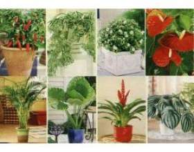 Лікарські кімнатні рослини фото