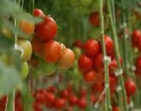 Кращі сорти томатів для сибіру від провідних селекціонерів рф фото