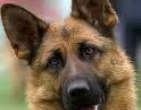 Чи можна позбутися від алергії на собак фото