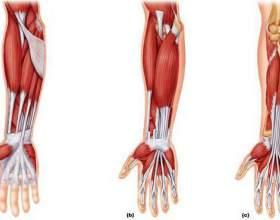 М'язи передпліччя і їх функції. Анатомія м'язів плеча та передпліччя фото